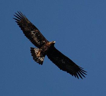 golden_eagle-sky